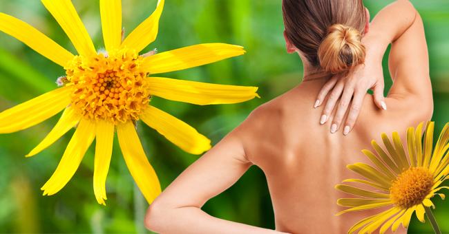 Arnica il fiore che rigenera le articolazioni