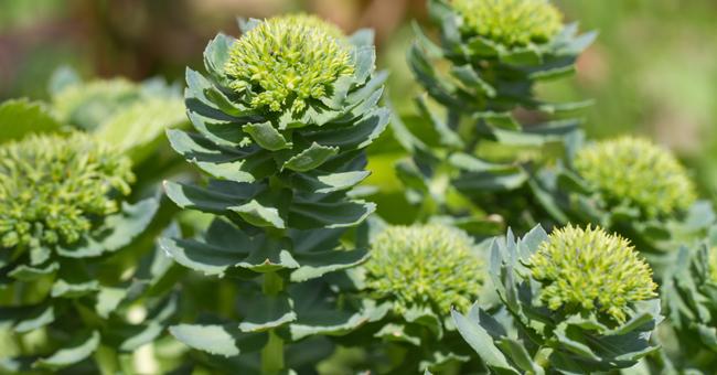 Rhodiola rosea proprietà, principi attivi e modi d'uso