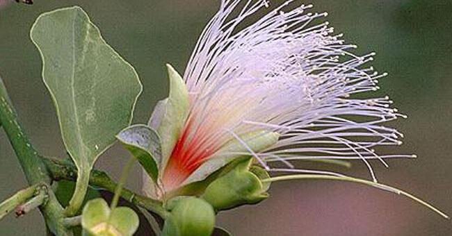Billy Goat Plum: Un fiore australiano per pelle e fegato