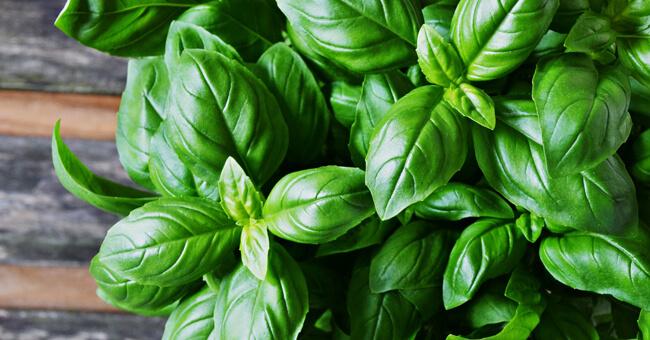 Basilico: la medicina verde di giugno