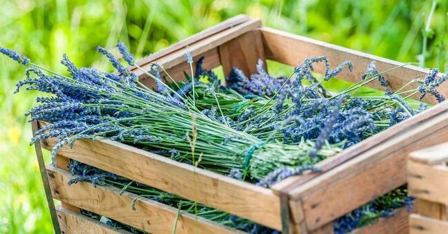 Luglio, il mese dei fiori di lavanda: tutti i benefici per il benessere di mente e corpo