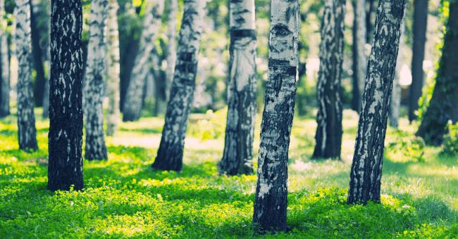 La betulla è la pianta amica che purifica mente, corpo e spirito