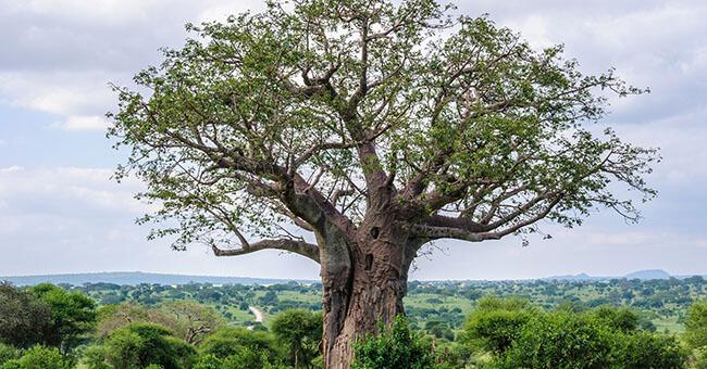 Baobab, tutti gli usi per bellezza e salute