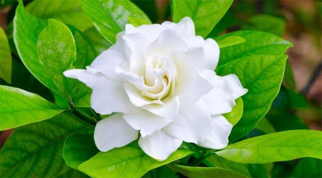 Bush Gardenia risveglia l'eros
