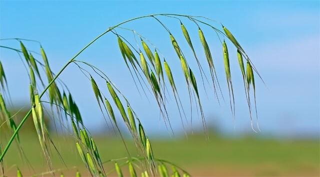 Con wild oat addio a dolori e insicurezze