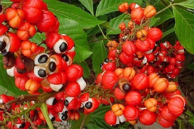 Guaranà: alleato del metabolismo
