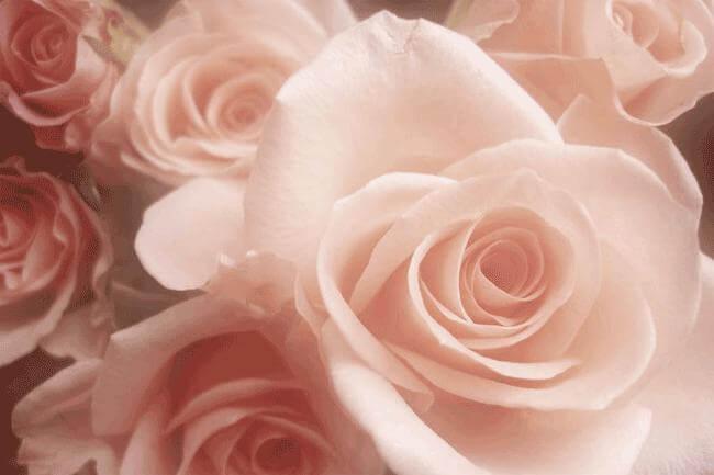 La rosa: l'antistress che aiuta digestione ed eros