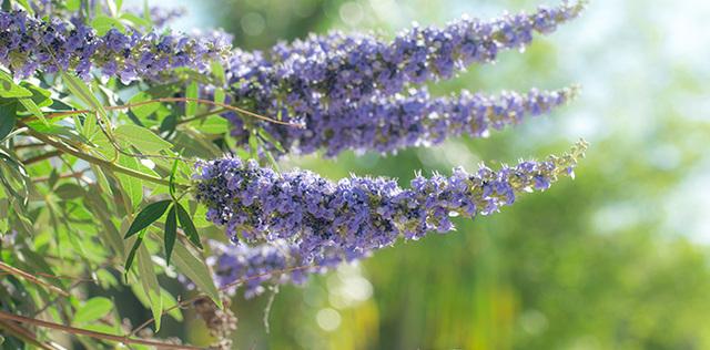 Agnocasto, il calmante naturale che placa l'irritazione di stagione