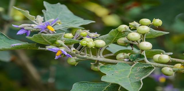 Belladonna, il rimedio omeopatico che allevia dolore e infiammazioni